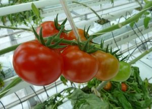 all year tomato