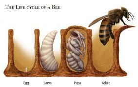 bee lifecycle