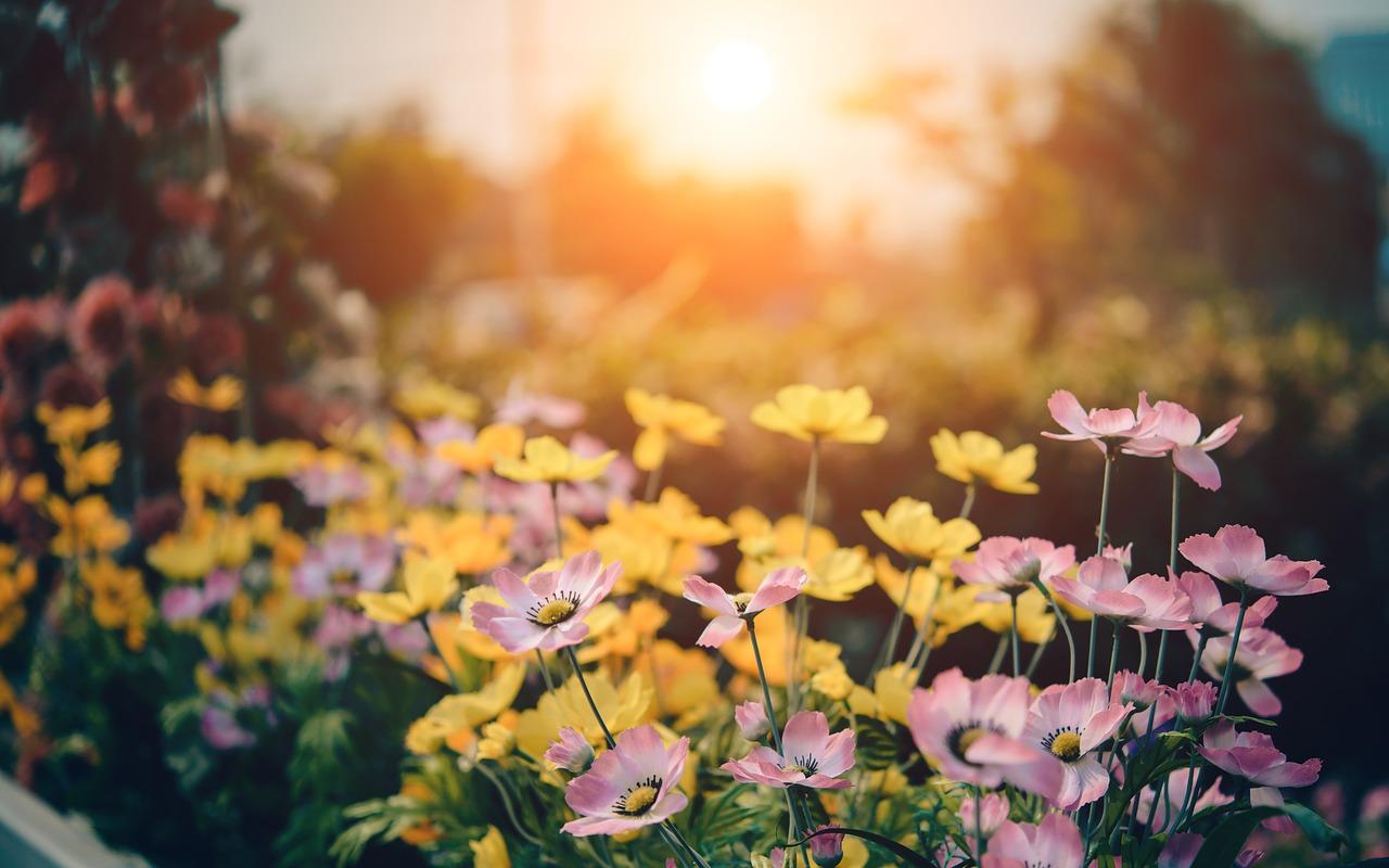 Sunrise, Flower