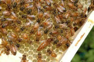 Queen, Bee