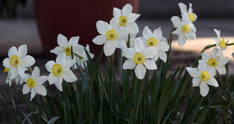 daffodil-